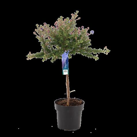 Ceanothus-Puget-Blue-stam