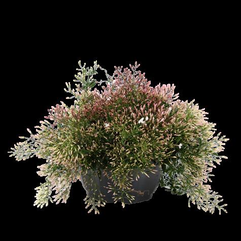 Jasmijn-struik