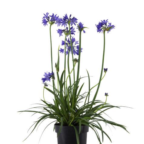Vaste planten_Agapanthus