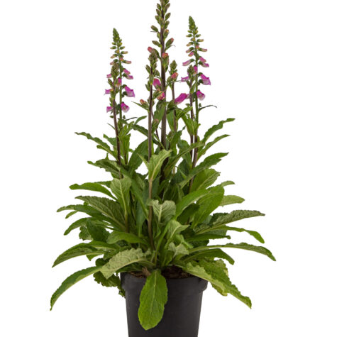 Vaste planten_Digitalis Panther