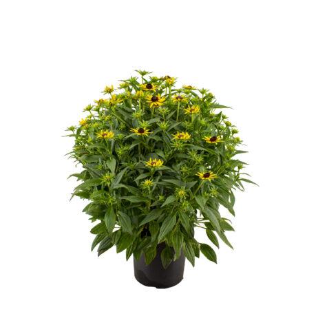 Vaste planten_Rudbeckia p17
