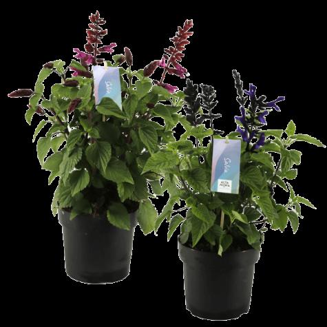 Vaste planten_Salvia-Salgoon-mix