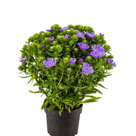 Vaste planten_Stokesia p17
