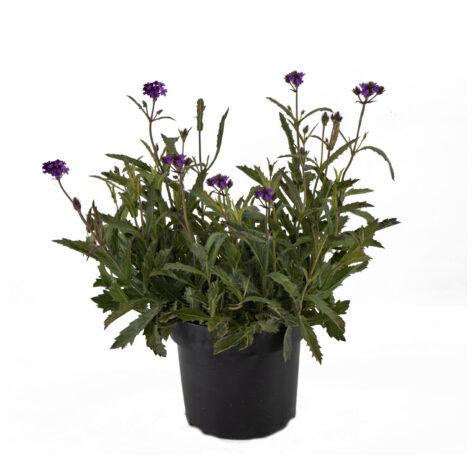 Vaste planten_Verbena